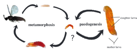 paedogenic-lifecycle