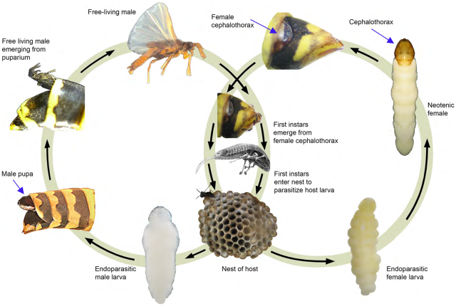 strepsiptera-lifecycle