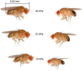 Fly size oxygen