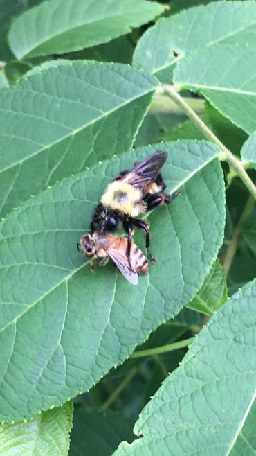 Curt bee