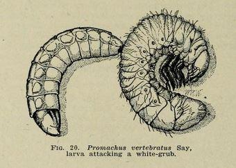 Promachus larva