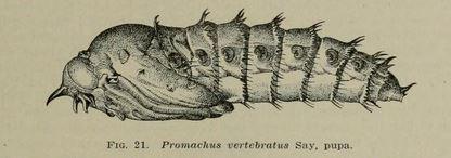 Promachus pupa