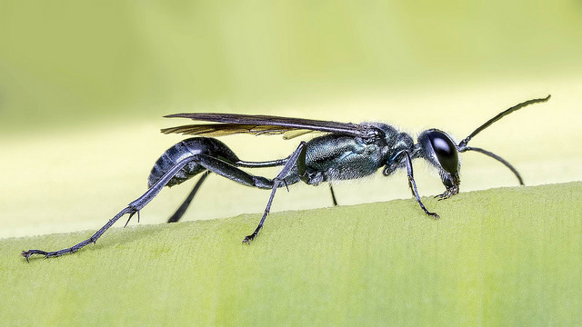 Chalybion wasp