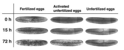 Cricket eggs