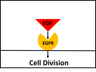 EGF Biology