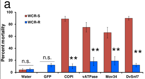 dsRNA WCR resistance