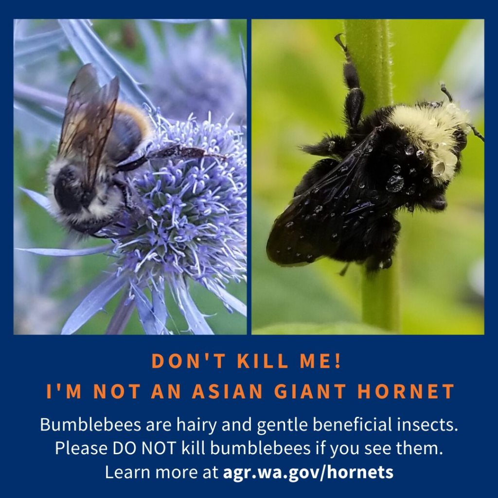 "A picture of two honey bees queens with a caption that says ""DON'T KILL ME! I'M NOT AN ASIAN GIANT HORNET! Bumblebees are hairy and gentle beneficial insects. Please DO NOT kill bumblebees if you see them. Learn more at agr.wa.gov/hornets"
