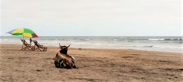 A cow sitting on the beach looking wistfully at the ocean next to a colored umbrella.