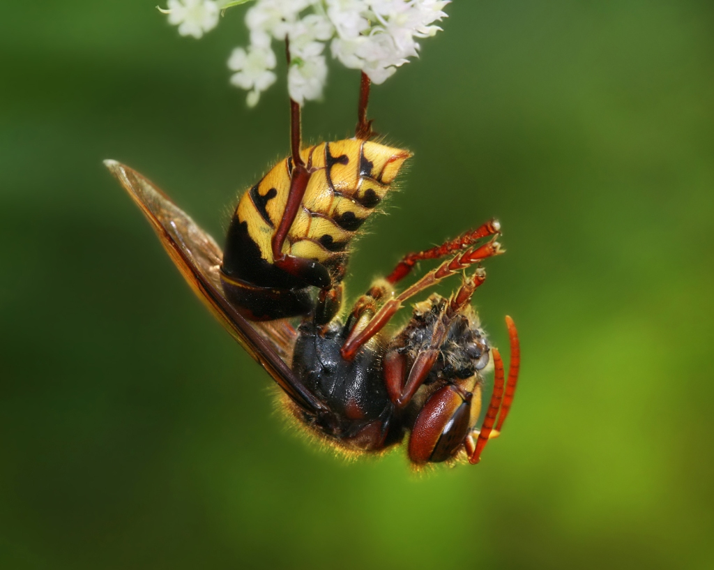 A large yellow and black hornet hanging upside down from a a white flower and eating a honey bee.