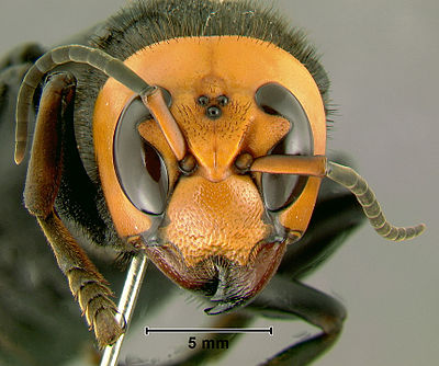 The head of an Asian Giant Hornet. Large orange insect head with big black eyes.