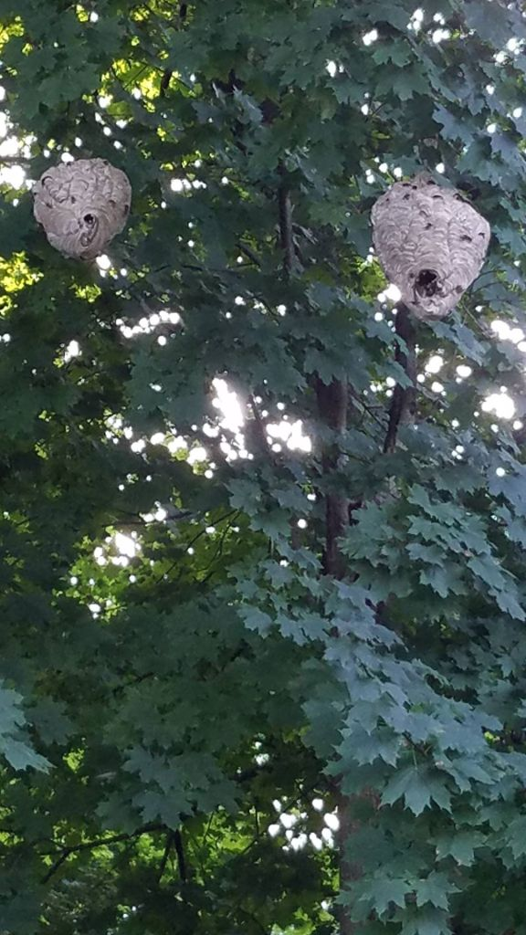 Two large wasp nests hanging in a tree next to each other.