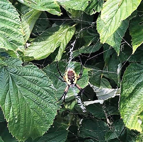 large Black and yellow spider in a web with a zipper shape in the middle.