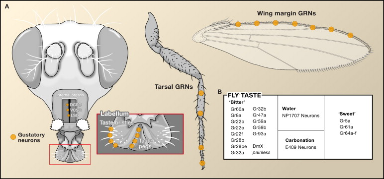 """A """"taste bud"""" map on a fly showing where taste receptors have been found. On the fly tongue, the fly legs, and the wing margin."""