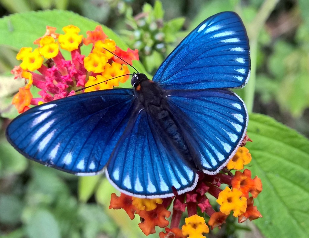 A stunning royal blue butterfly sips nectar from small yellow and pink flowers.